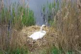 The Swan in the Phonex Park